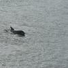 Kieler Flipper in der Schwentine vor der Schmerzklinik Kiel (7)